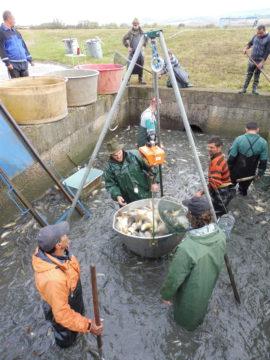 Váženie a nakladanie rýb